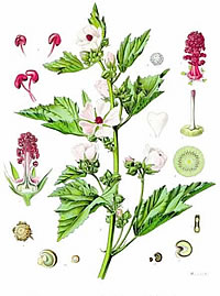 Althea officinalis for gastritis and colitis
