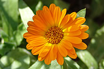 Calendula officinalis for skin disorders