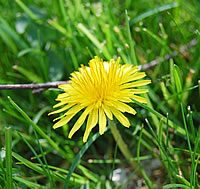 Taraxacum officinale for eczema and arthritis